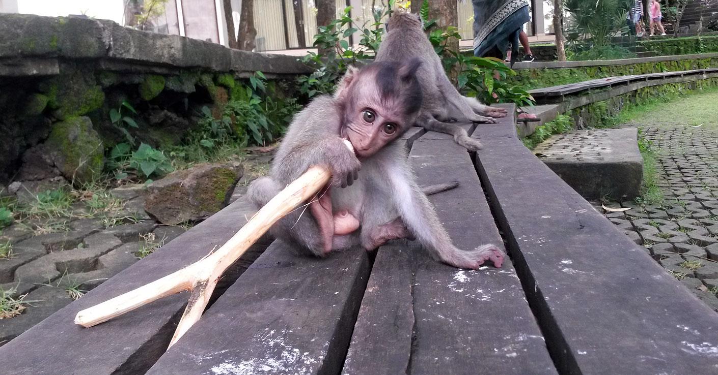 Bali małpy co robić atrakcje
