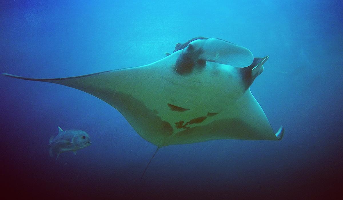 manta nurkowanie tajlandia