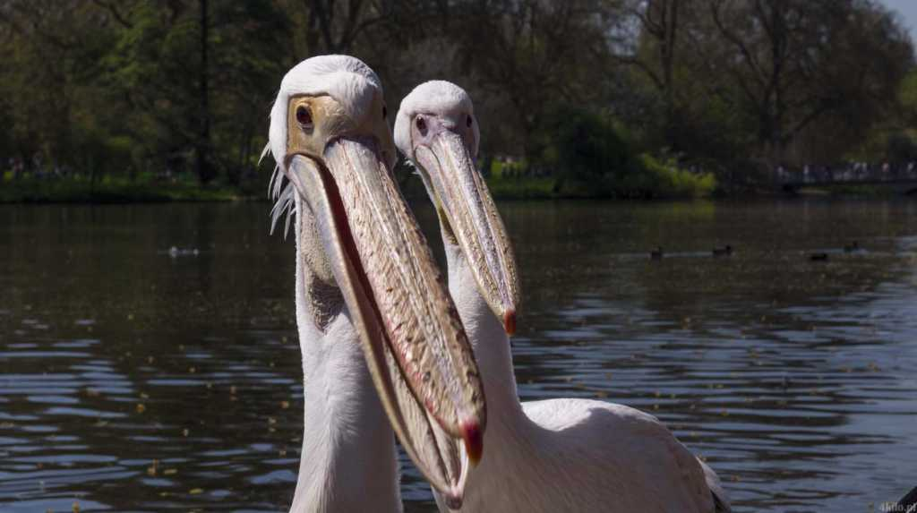londyn pelikany hyde park